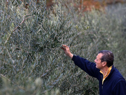 Spain and Italy hit by devastating 'olive ebola' outbreak