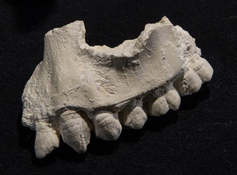 The upper jaw of Australopithecus deyiremeda