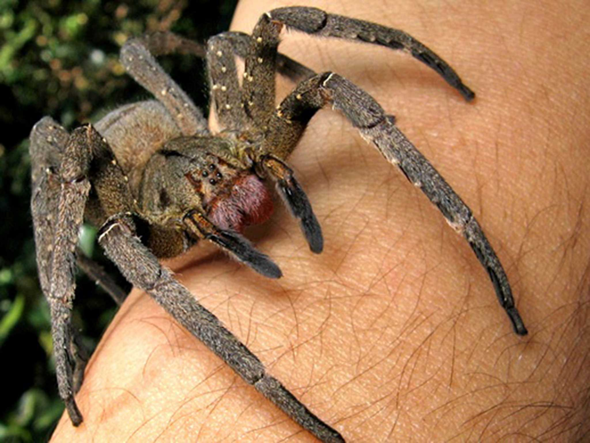 brazilian wandering spider how deadly are the spiders allegedly