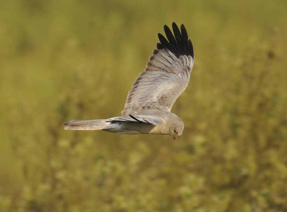 The latest disappearance is the fifth hen harrier this spring to have gone missing