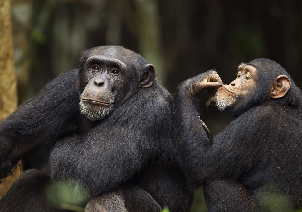 chimpanzees found routinely drinking alcohol in wild the independent