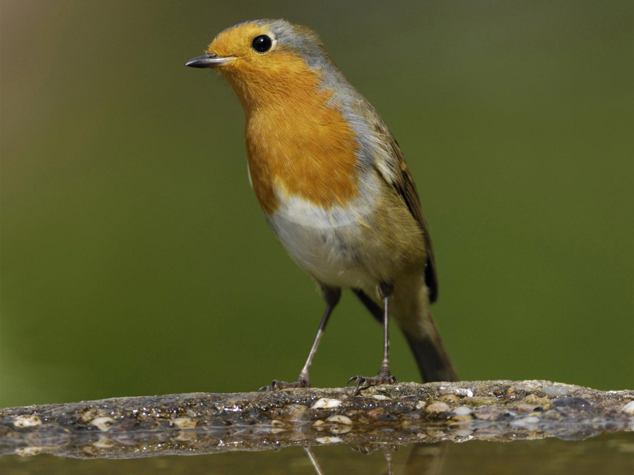 robin crowned as britain u0027s national bird after 200 000 strong