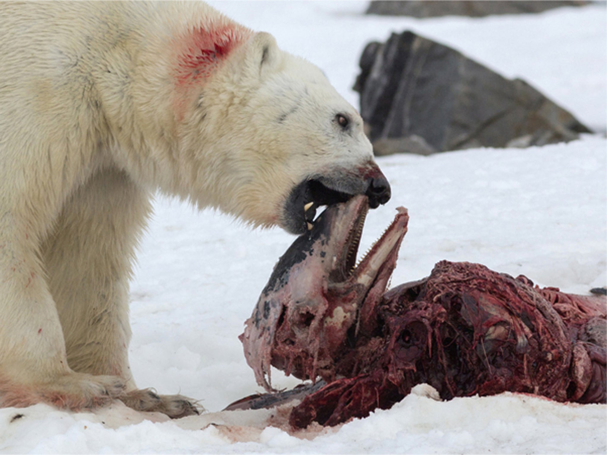 Bear ravaged by straighty