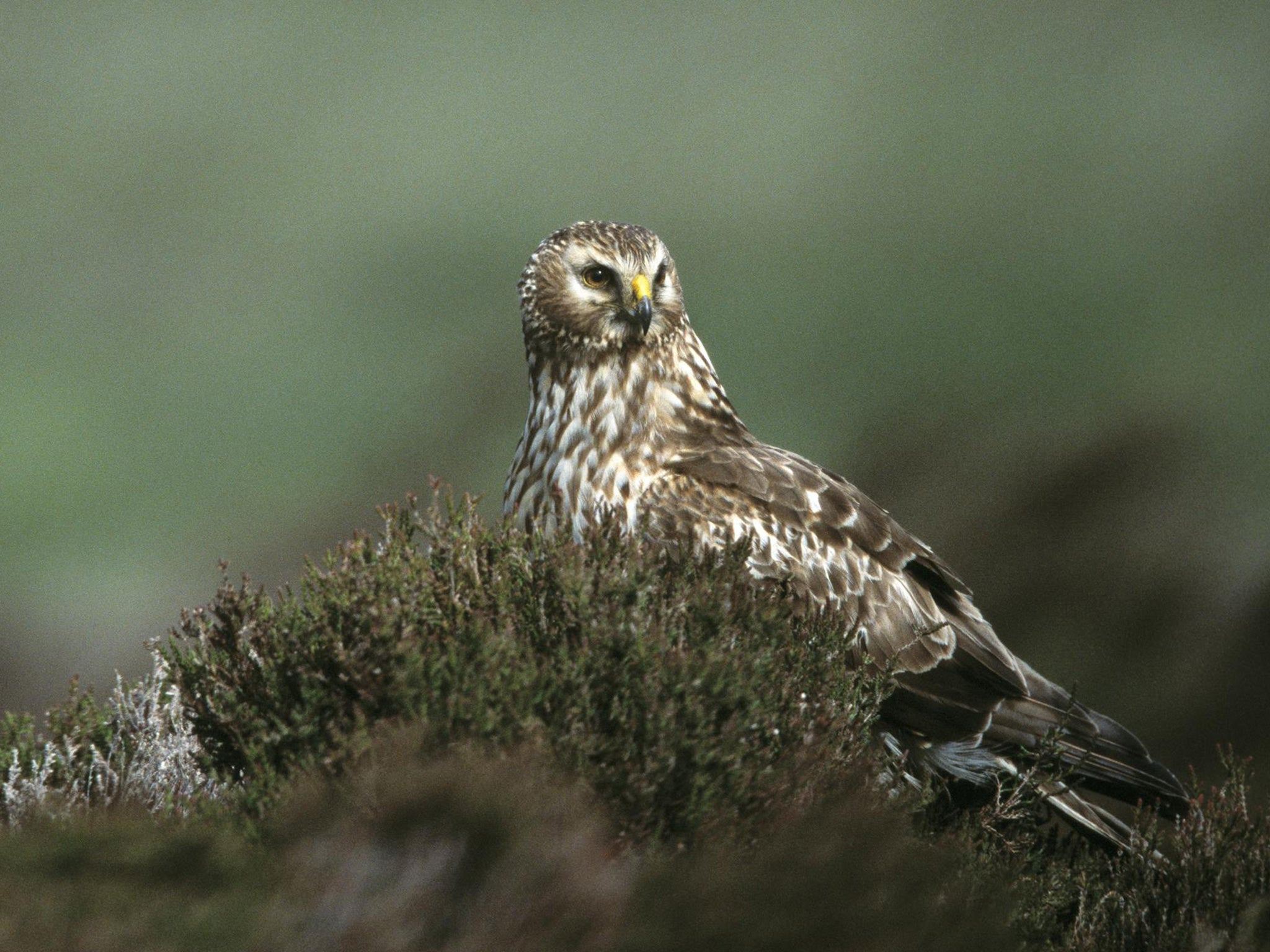 is this why the rare hen harrier is facing u0027extinction by