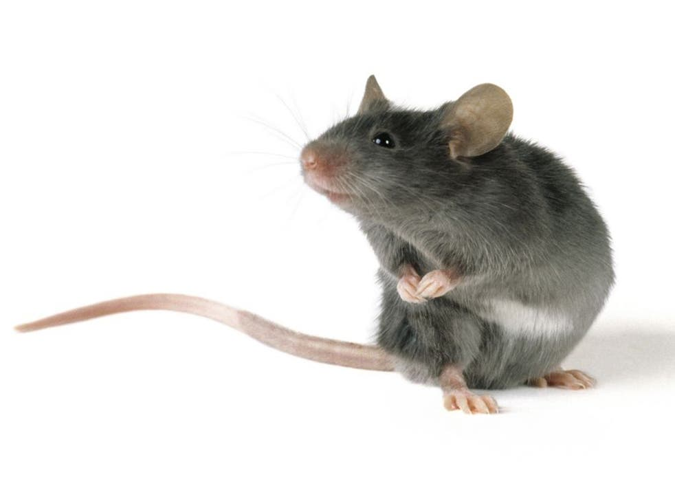 The scientists were able to make brain cells in the mouse fire using a laser