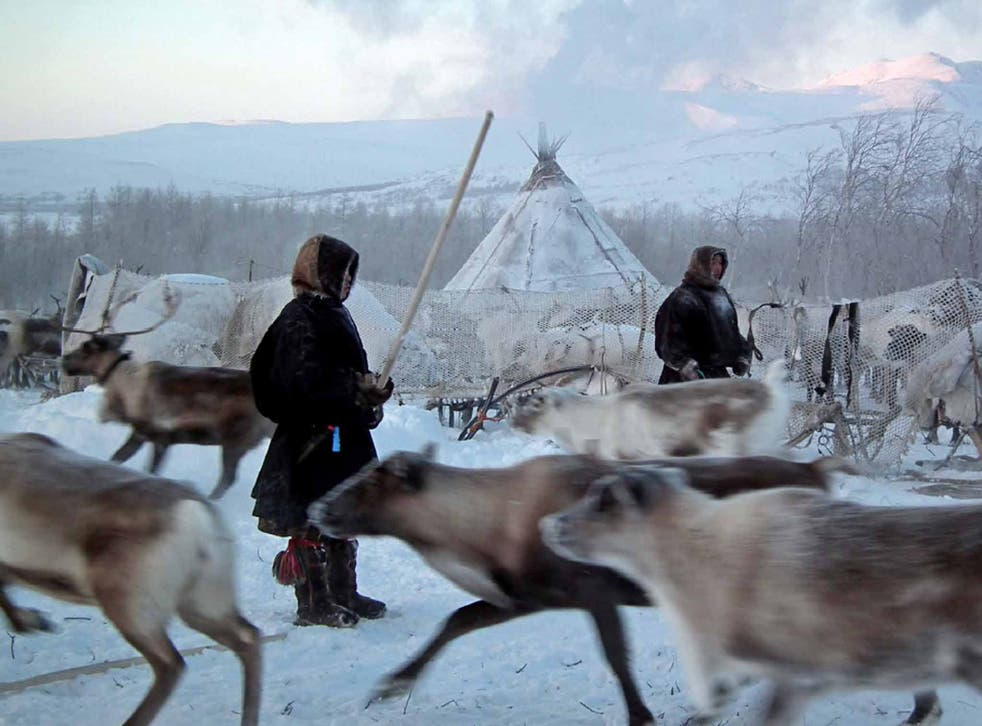 A reindeer herd surrounds the chum