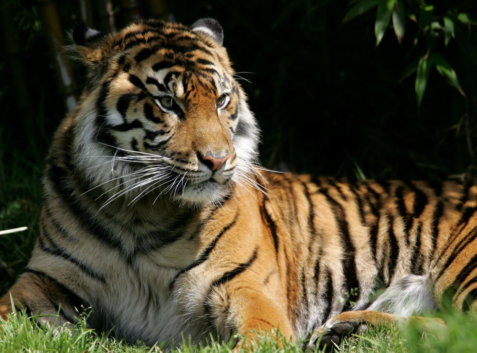 The Sumatran tiger is one of the species that would benefit from the suggested policy