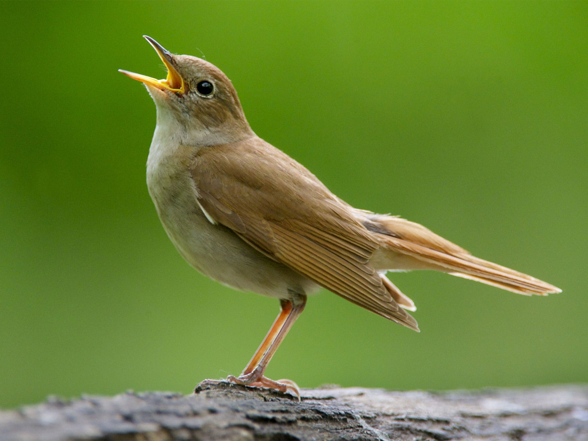 male nightingales sing complex songs to show females they