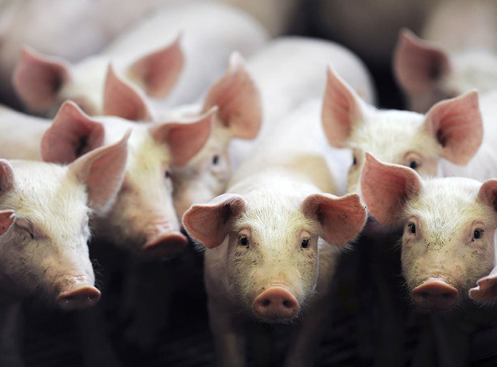 Campaigners say pigs are unfairly treated in factory farms, with overcrowding and infection being rife