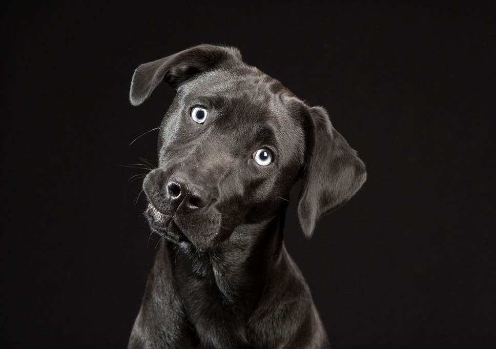 Black Dogs Project Photographer Unveils Gallery Of Dark Canines In A Bid To Help Them Find A Home The Independent