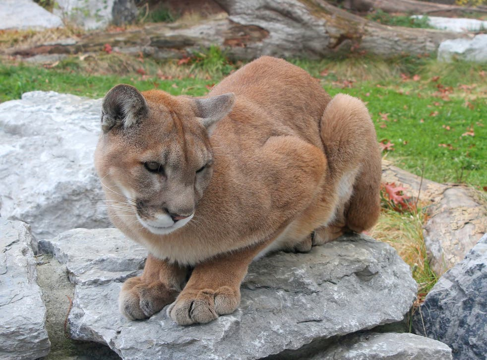 The Eastern Cougar was largely wiped out in the 19th century by European immigrants (CC)
