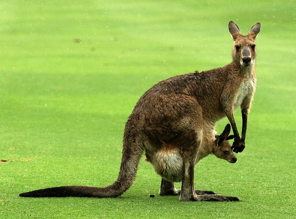 There are an estimated 50 to 60 million kangaroos in Australia