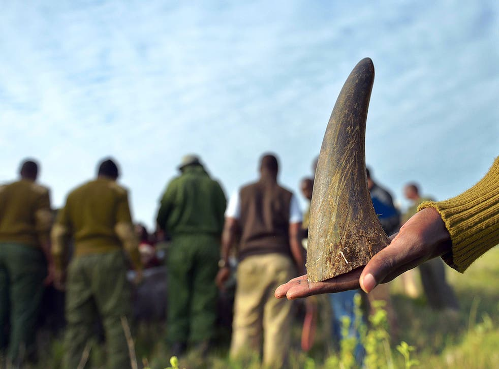 A member of a rhino-translocation team at Lewa wildlife conservancy holds-on to the sawed-off tip of a rhino horn as others process a sedated Black rhinocerous for general health condition in the background.