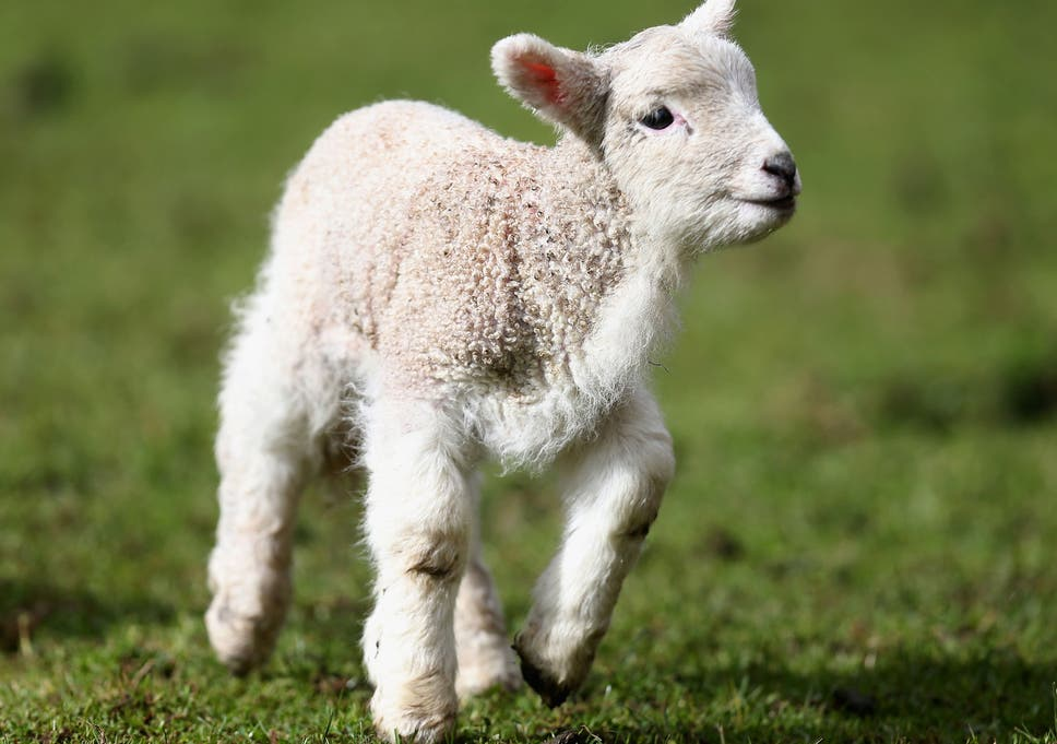 Investigation opened in France after lamb genetically modified with