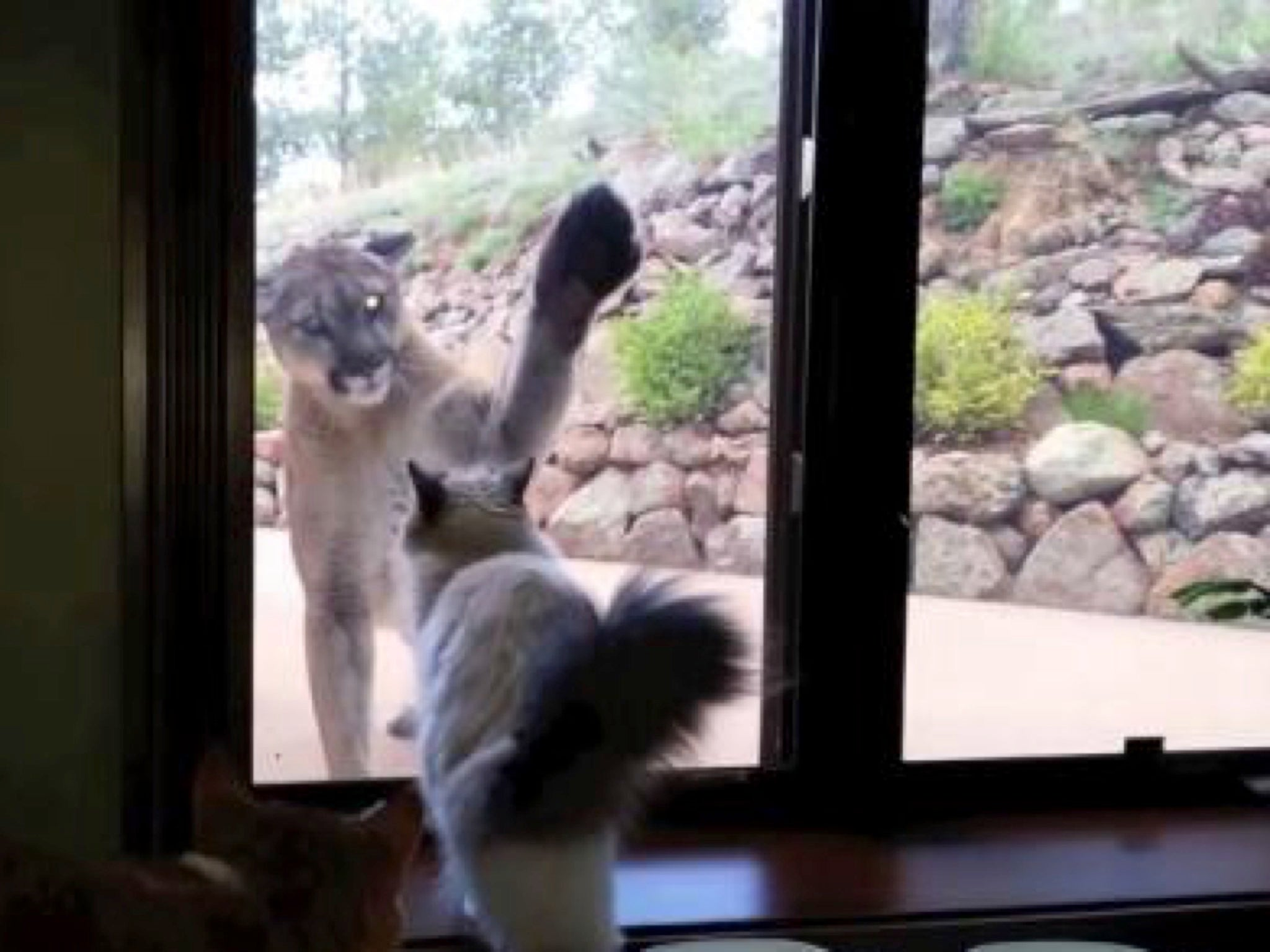 Colorado Health Insurance >> Video of house cat staring down Colorado mountain lion goes viral | Americas | News | The ...