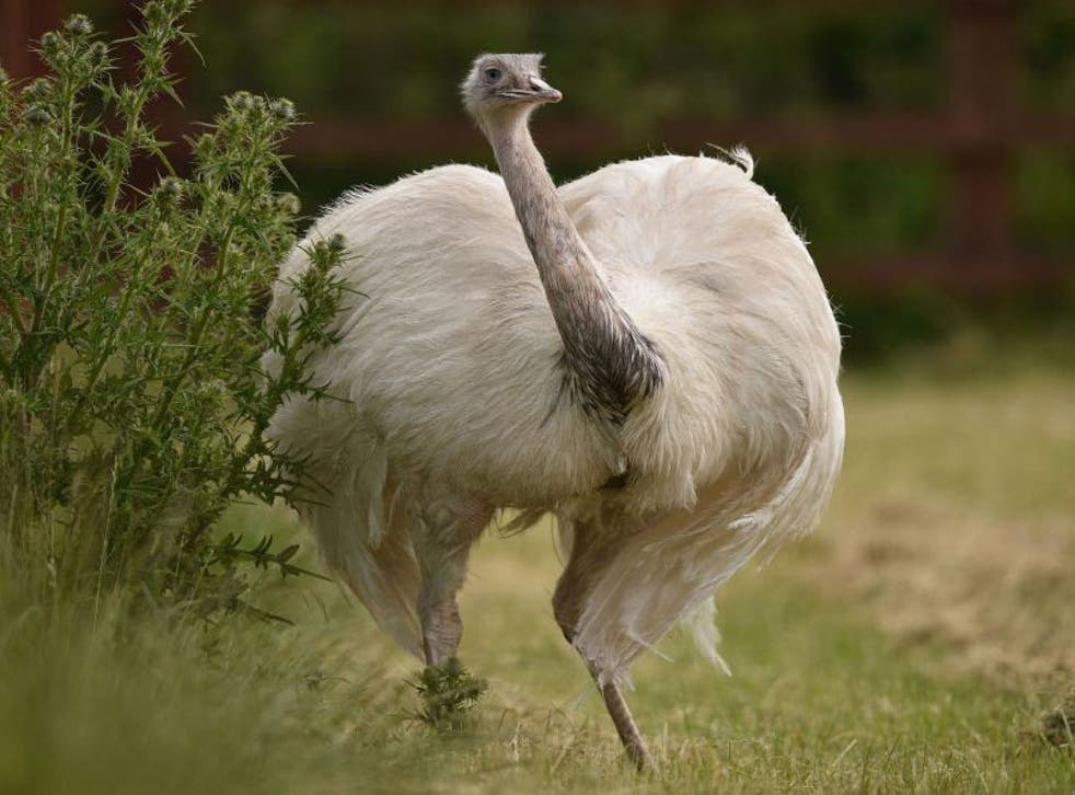 The female partner of the missing Rhea bird has reportedly been pacing their field looking for him