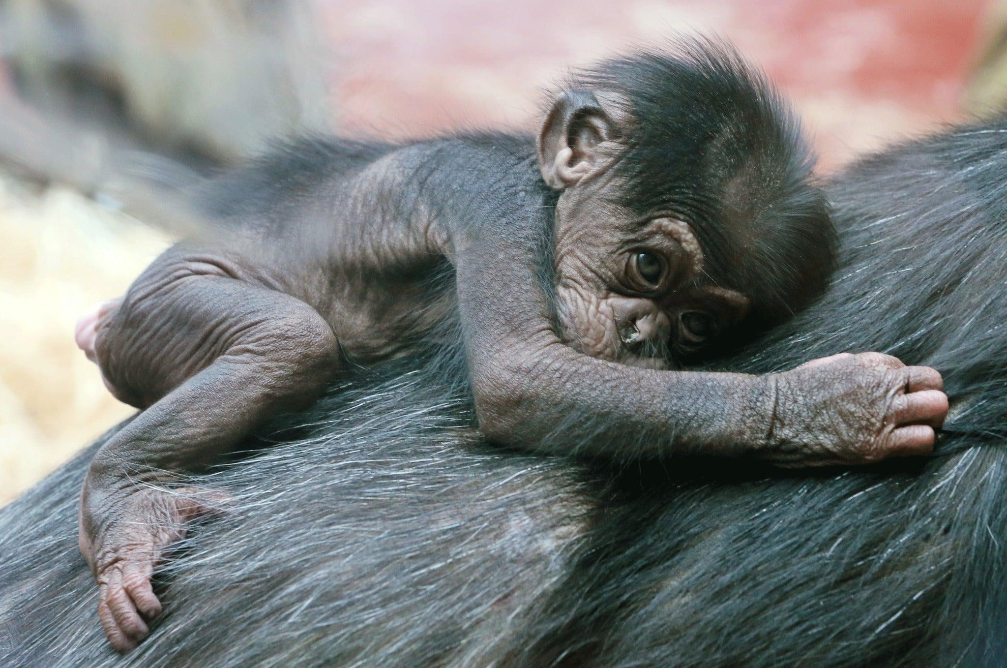 Free Ape Sex Videos chimpanzees may have a similar sense of right and wrong to