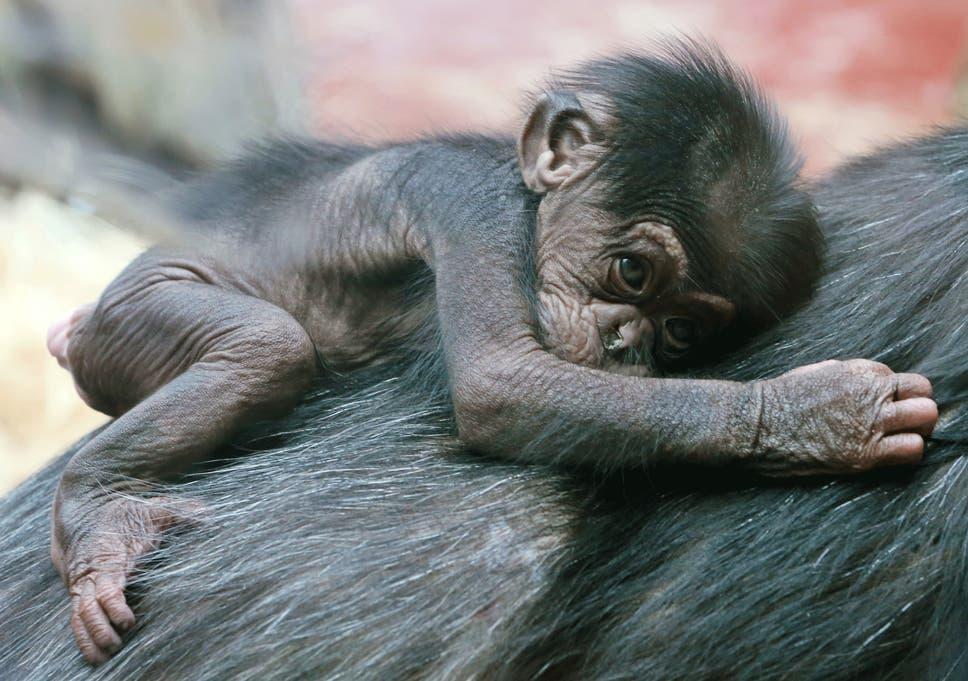 schimpansensex-mit-maedchen-frei