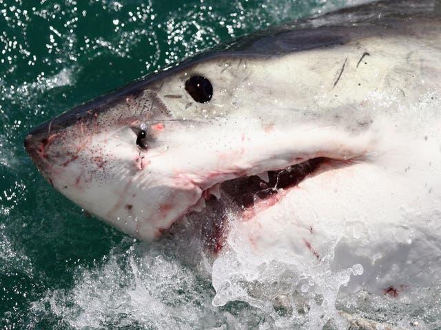 En lo que va del año, se han reportado 18 ataques de tiburón en el estado