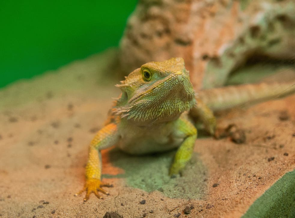 A 'Bearded Dragon' reptile is seen during the opening of the event 'Getting in touch with nature' in the new educational area at the Bioparco on October 12, 2013 in Rome, Italy