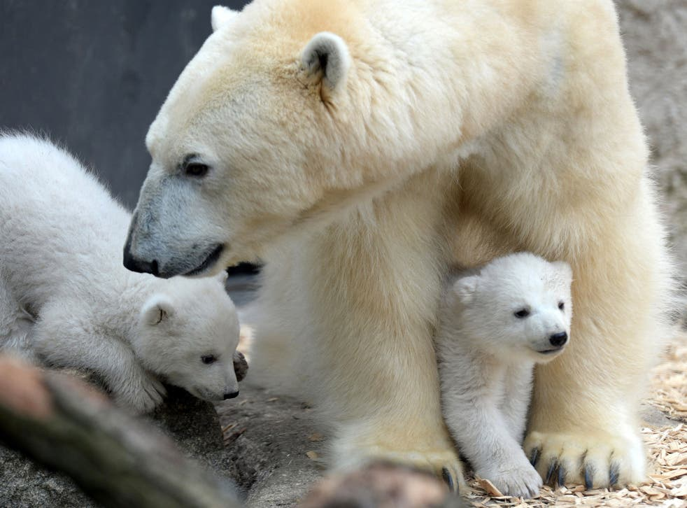 The polar bear's natural habitati, arctic sea ice, is rapidly melting