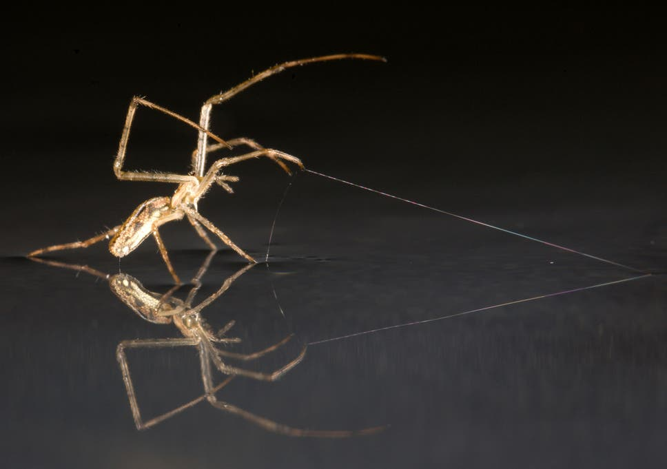 Spiders can 'sail across water like ships' | The Independent