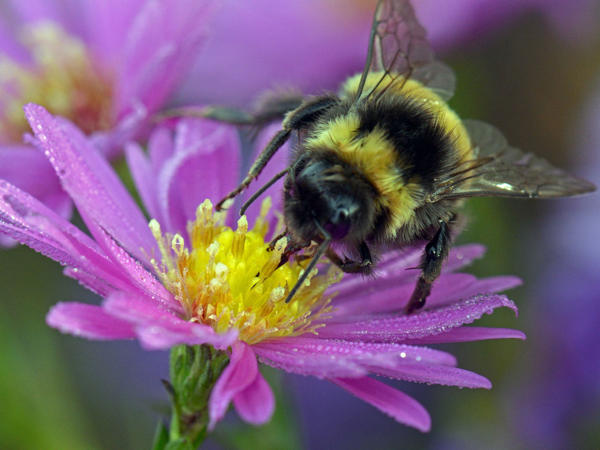 scientists propose international effort to assist bumblebees to