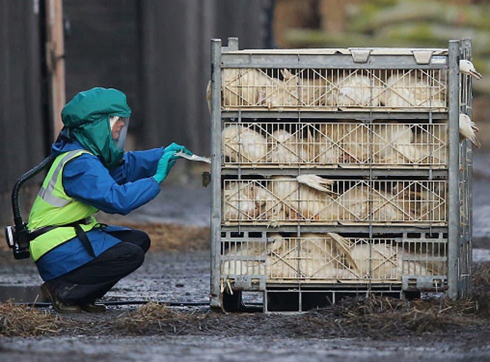 Ducks culled at a farm near Nafferton, East Yorkshire where a strain of bird flu was confirmed in 2014
