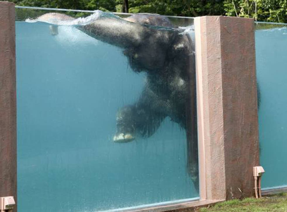 Japanese zoo builds transparent swimming pool for elephants