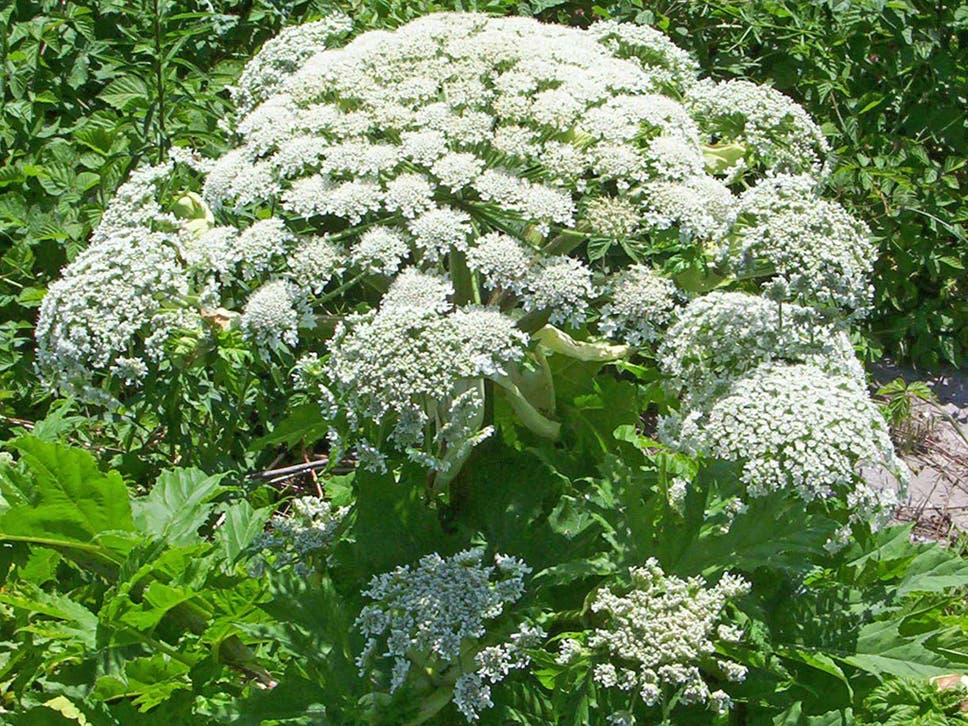 Giant hogweed what the toxic plant does to humans what it looks giant hogweed what the toxic plant does to humans what it looks like and everything else you need to know mightylinksfo