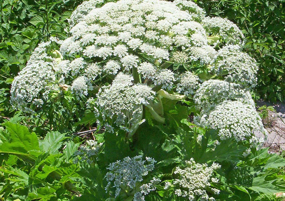 Giant hogweed what the toxic plant does to humans what it looks giant hogweed is a dangerous weed mightylinksfo