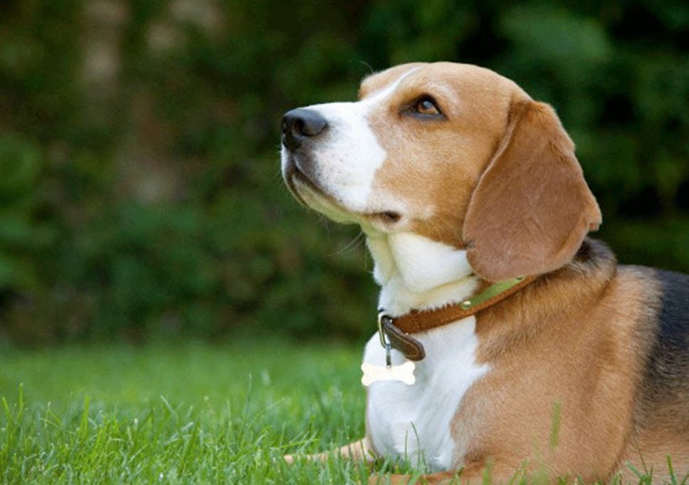 facility given the go ahead to breed beagles for experiments after