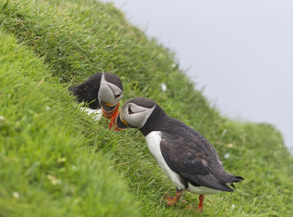 The number of breeding puffins on Fair Isle has halved in 30 years