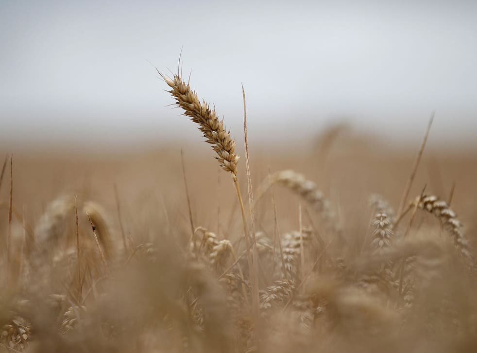 Ripe wheat waits to be harvested in fields at the start of harvesting (Getty)