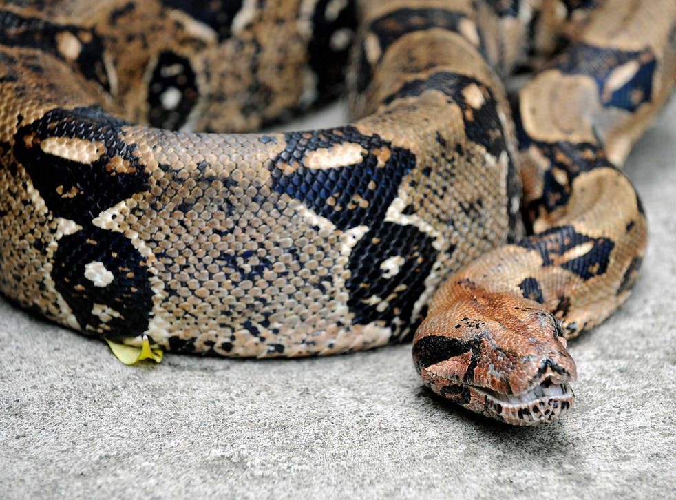 Boa constrictors, anacondas and some other pythons are thought to cut off the blood supply of prey