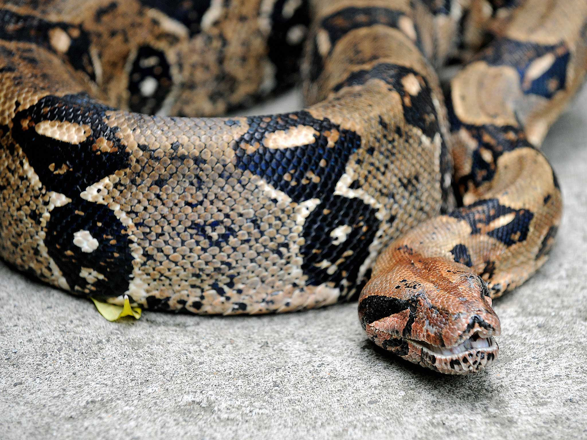 More than 600 people sign up to Florida's python-hunting challenge