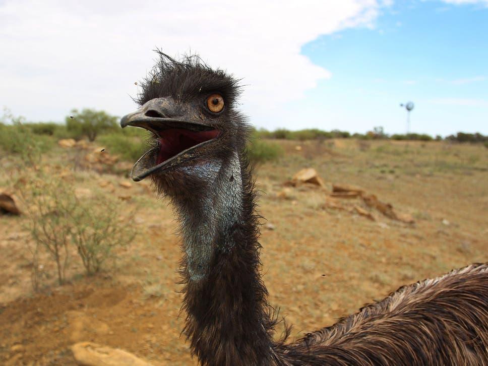 emu encounter us tourist cornered by amorous australian bird the