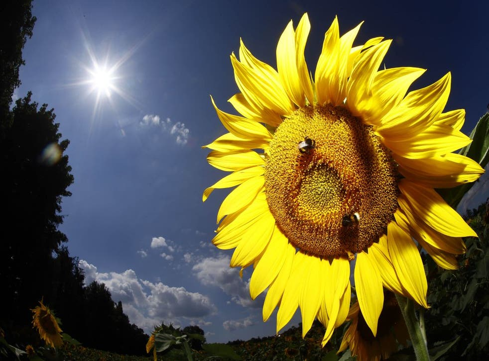 Bees land on a sunflower in Munich, Germany