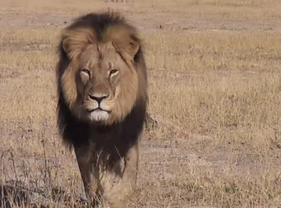 Cecil was probably Zimbabwe's most famous lion and the star attraction of Hawange national park
