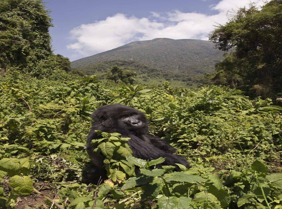 The mountain gorilla, a critically endangered primate that shares 98 per cent of its DNA with us
