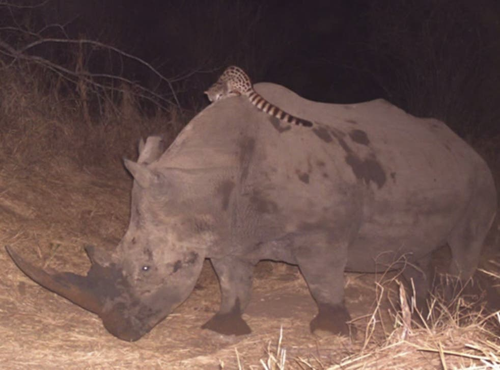 Genet rides on the back of a rhino in South Africa