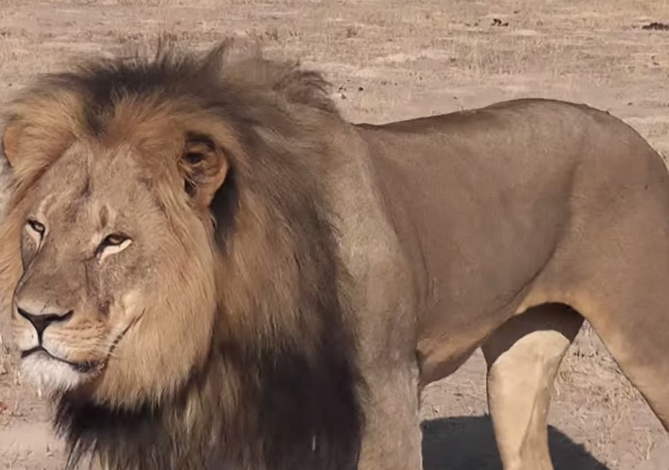 wholesale dealer detailed pictures vast selection Cecil the lion: Walter Palmer blames local guides in ...