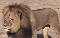 Dentist who illegally killed Cecil blames local guides for scandal