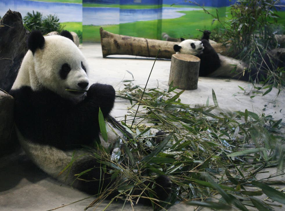 FILE: Tuan Tuan and Yuan Yuan eat bamboo leaves inside their new enclosure at the Taipei Zoo on January 26, 2009