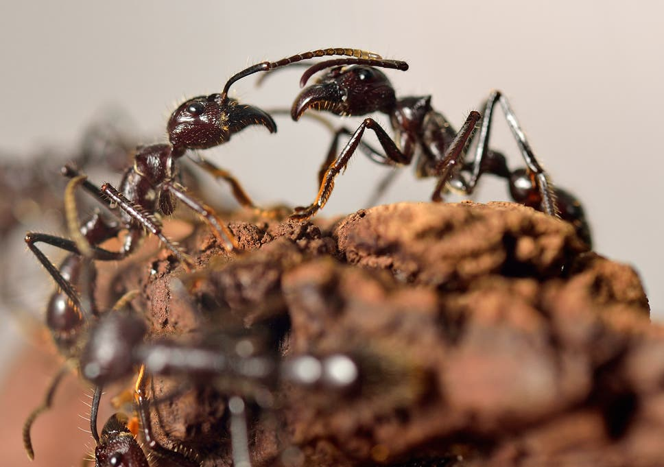 Ants have unique ability to switch between individual and