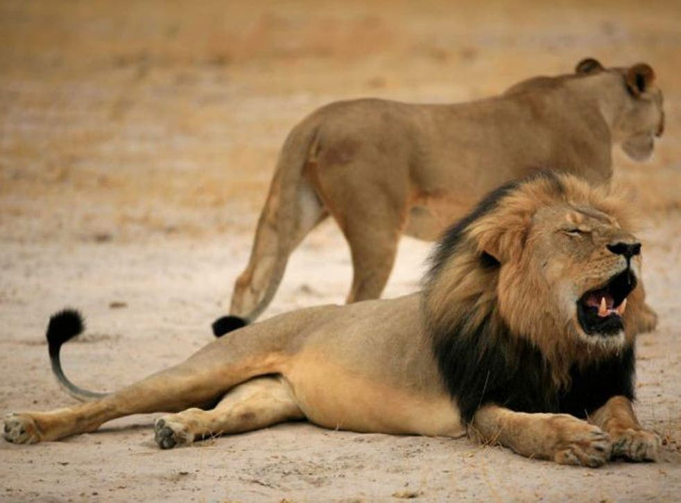 Cecil the Lion, before he was killed by American hunter Walter Palmer (EPA)