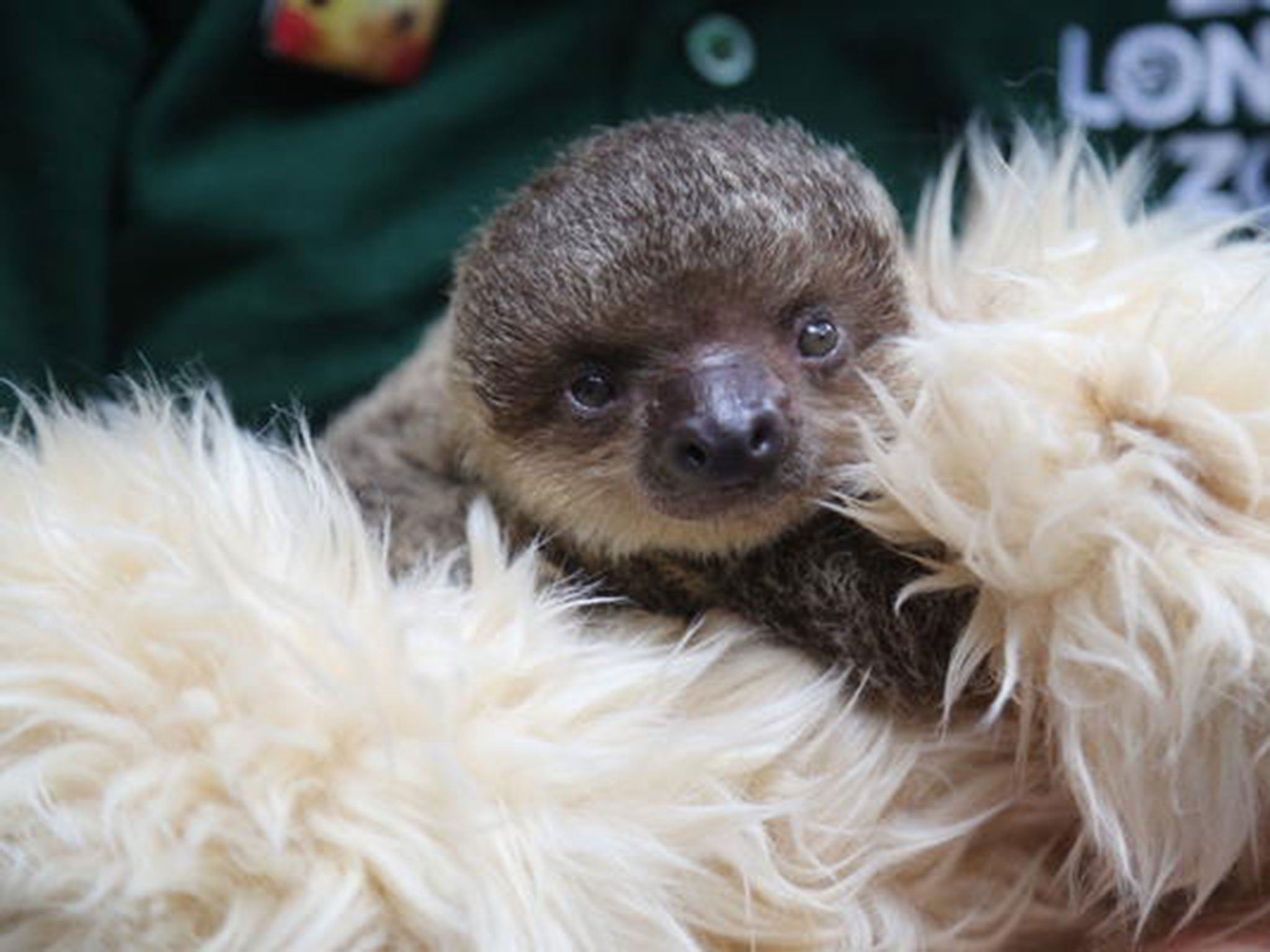 London Zoo is raising a sloth with a teddy bear as a surrogate mother