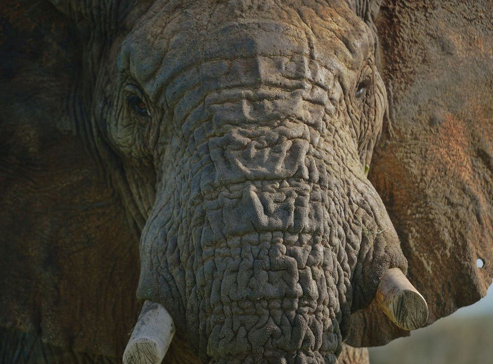 If the trend in numbers declining is not stopped, elephants will be wiped out in the wild in our children's lifetimes