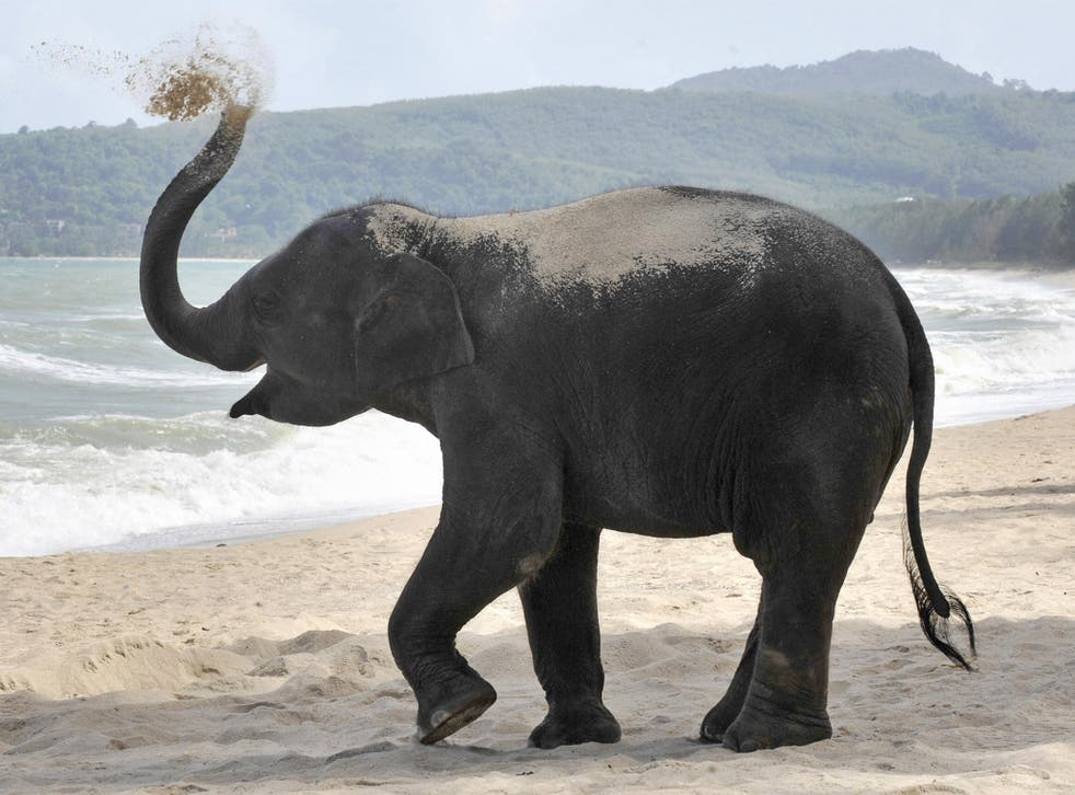 A three-year-old elephant named Lilly plays with the sand at a beach resort in Phuket. The number of Asian elephants has dwindled to just 40,000