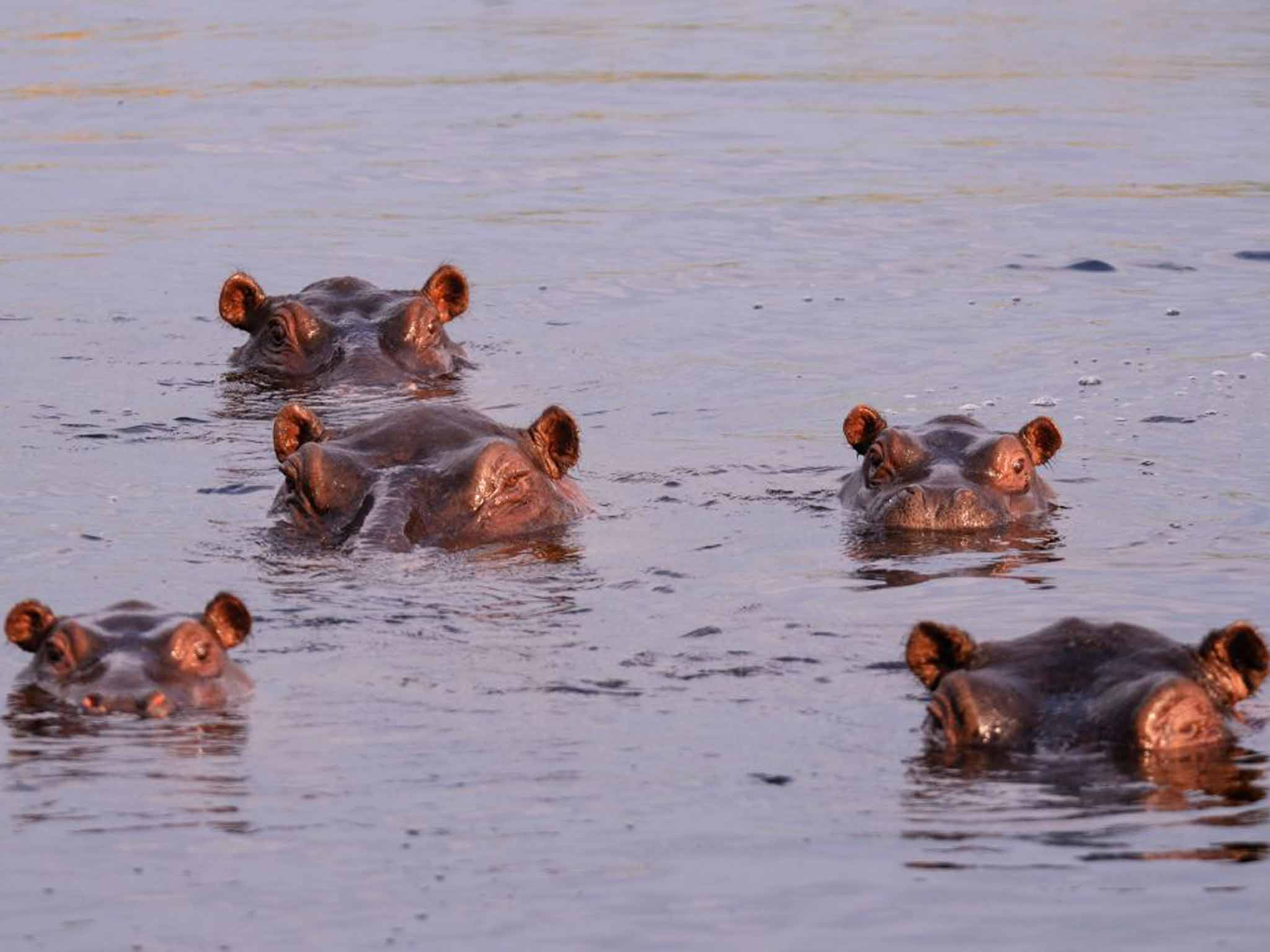 Zambia to allow trophy hunters to kill more than a thousand hippos